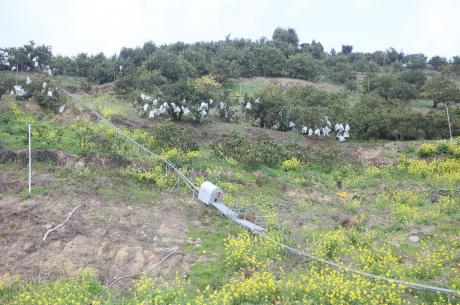 急斜面にあるブラットオレンジの畑